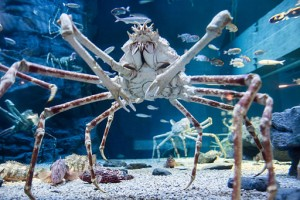 Japanese_spider_crab_(15340536895)